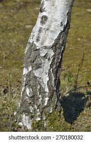 Silver Birch Tree - Betula pendula Trunk & Bark detail