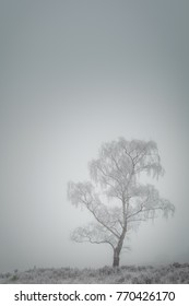 A Silver Birch tree heavily laden with thick hoar frost and shrouded in fog.