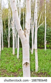 Silver birch trees in a forest in spring