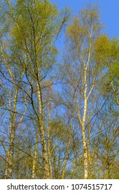 silver birch trees in the sunshine on a spring day with blue sky