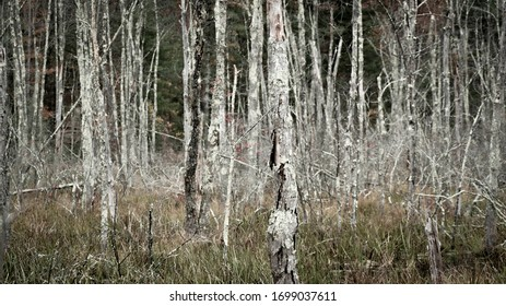 Silver Birch trees in Upstate new York