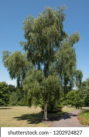 Silver Birch 'Tristis' (Betula pendula) in a Park in Rural Devon, England, UK