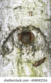 silver birch trunk close-up