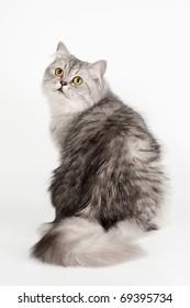 Silver British cat on white background