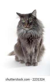 silver brown norwegian forest cat with green eyes