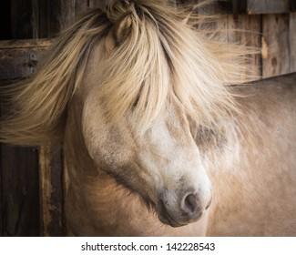 Silver Buckskin Icelandic Stallion