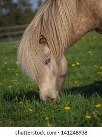 SIlver Buckskin Icelandic Stallion Grazing in Green Field