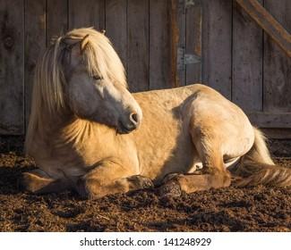 Silver Buckskin Icelandic Stallion Resting in the Morning Sun