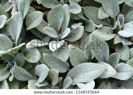 Silver Carpet Lambs ears leaves - Latin name - Stachys byzantina Silver Carpet