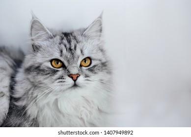 Silver chinchilla cat on white background