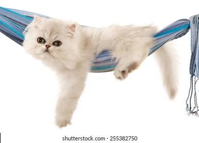 Silver Chinchilla kitten lying inside blue cloth hammock on white background