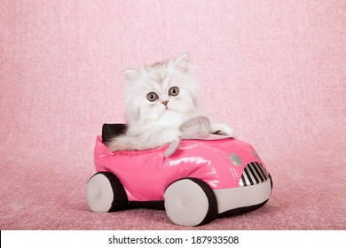 Silver Chinchilla kitten sitting inside pink toy car on pink background