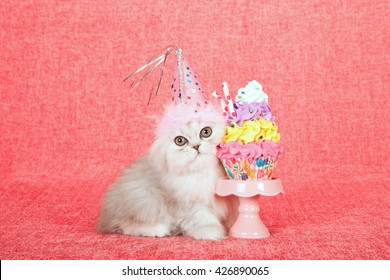 Silver Chinchilla kitten wearing birthday hat with fake cupcake on miniature cupcake stand on bright pink background
