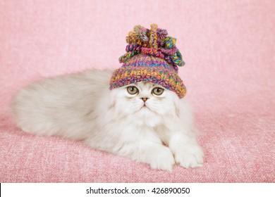 Silver Chinchilla kitten wearing a crochet cap hat lying on light pink background cloth