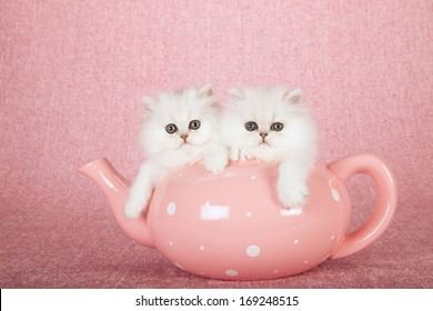 Silver Chinchilla kittens sitting inside large oversize pink tea pot on pink background