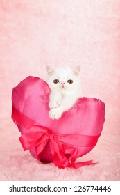 Silver Chinchilla Persian kitten with huge pink satin valentine heart on pink background
