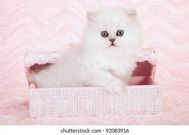 Silver chinchilla persian kitten in pink gift basket on pink background