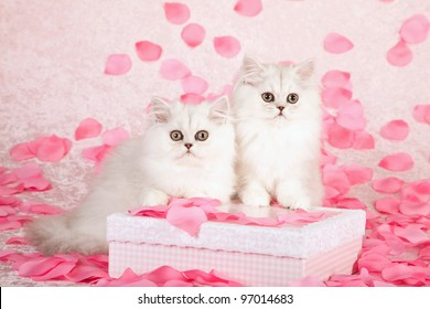 Silver Chinchilla Persian kittens with pink gift box and rose petals on pink background