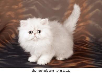 Silver Chinchilla/Persian kitten on swirled brown background