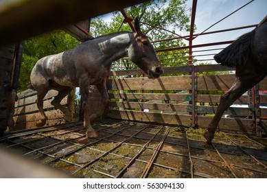 Silver dapple horses running in a horse box.