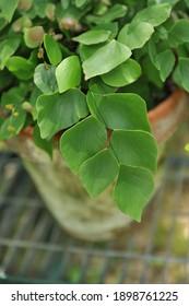 A silver dollar fern (Adiantum peruvianum) grows in a terra cotta pot in a garden in July
