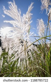 Silver Feather Plant,  flowering Asia grass plant Miscanthus sinensis on a meadow in sunshine