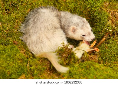 Silver ferret predator eating little chicken in forest moss decorated with prey skulls