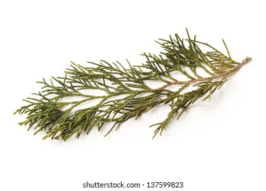 Silver fir leaf on white background