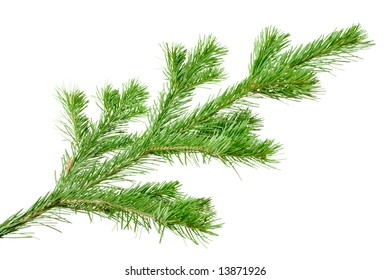 the silver Fir Tree Branch isolated on white