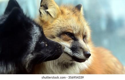 Imágenes Fotos De Stock Y Vectores Sobre Silver Fox