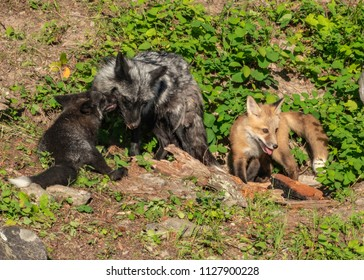A Silver fox vixen cuddles with her kit while his pal, a red fox kit stands nearby.