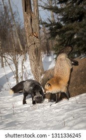 Silver Fox (Vulpes vulpes) Jumps Down Next to Silver Fox Winter - captive animals