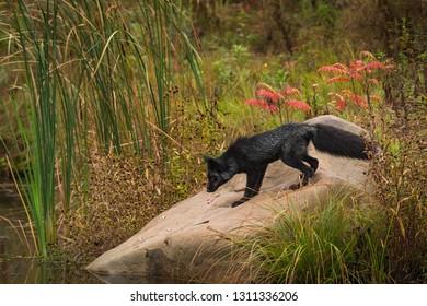 Silver Fox (Vulpes vulpes) Looks Down Rock Autumn - captive animal