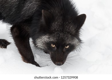 Silver Fox (Vulpes vulpes) Looks Out Close Up - captive animal