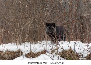 Silver Fox (Vulpes vulpes) Looks Out From Weedy Embankment - captive animal