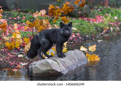 Silver Fox (Vulpes vulpes) Looks Out From Atop Rock Autumn - captive animal