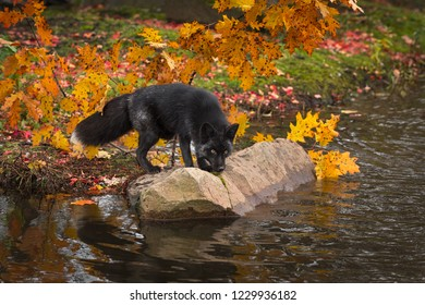 Silver Fox (Vulpes vulpes) Nose Down on Rock in Autumn - captive animal