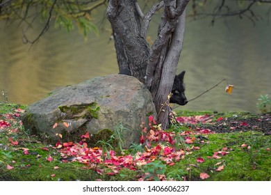 Silver Fox (Vulpes vulpes) Peeks Out from Behind Tree Autumn - captive animal