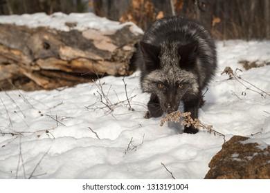 Silver Fox (Vulpes vulpes) Sniffs at Weed Winter - captive animal