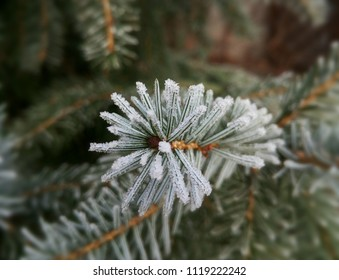 Silver frost on the spruce tree