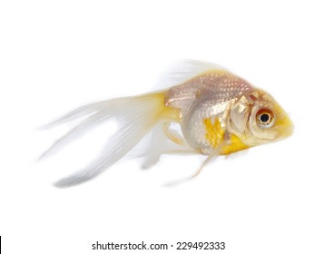 Silver goldfish with long fins over a white background