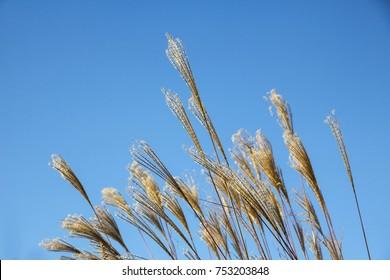 silver grass against blue sky
