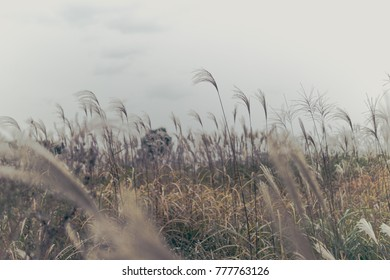 Silver grass blow in cloudy sky