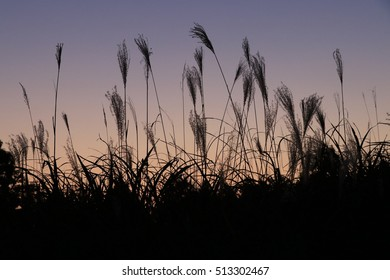 Silver grass field after sunset