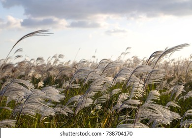 silver grass flower blowing in the wind, silver grass flower sway in the wind with blue sky background