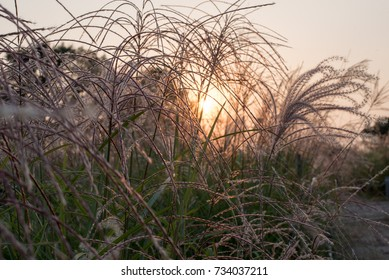 Silver grass at sunset  September 30, 2017 which was taken in the fall. The silver grass reflected in the sunset light is quite beautiful.