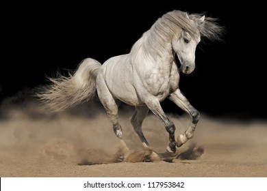 Silver gray Andalusian horse in desert on black background