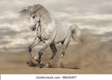 Silver gray Andalusian horse in desert. Toned image