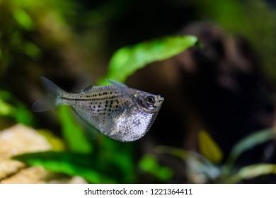 Silver Hatchetfish in aquarium rearing