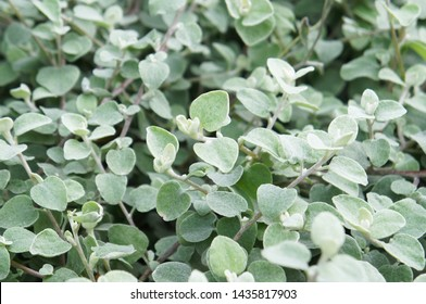 Silver helichrysum or licorice plant or helichrysum petiolare green foliage background
